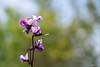 the flowers of a purple hyacinth bean plant