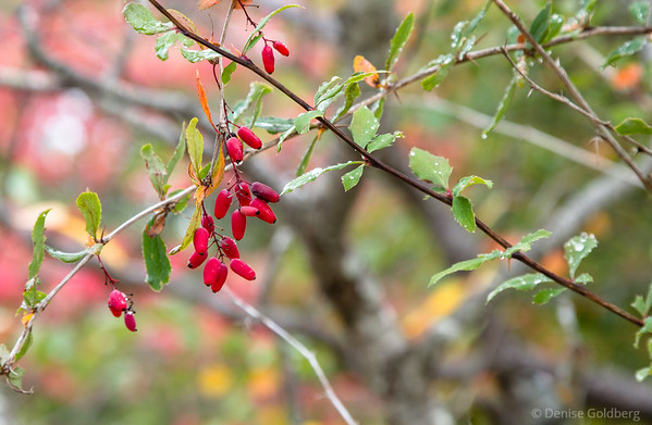 berries in red