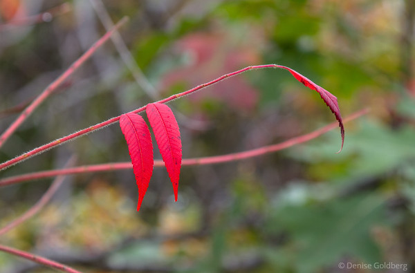 sumac leaves in bright red