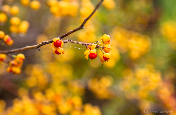berries popping
