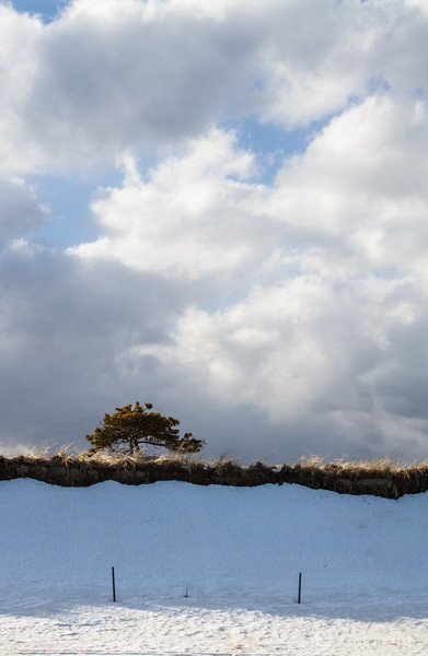 a tiny tree above the snow-covered dunes, Popham Beach
