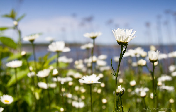 daisies, ocean background