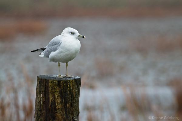 sea gull standing
