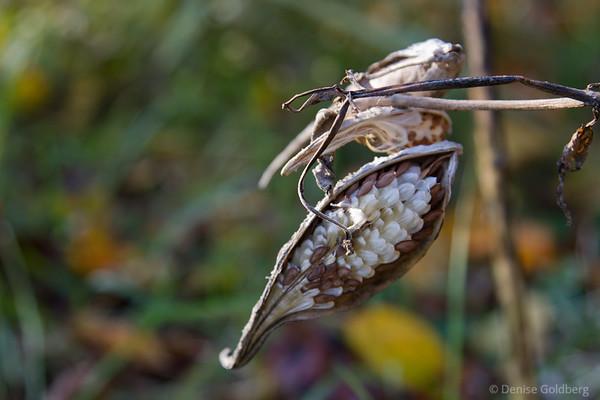 milkweed seed pod, opening