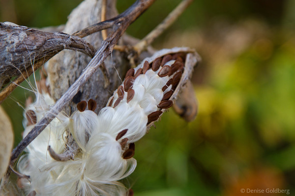 milkweed seed pod, exploding