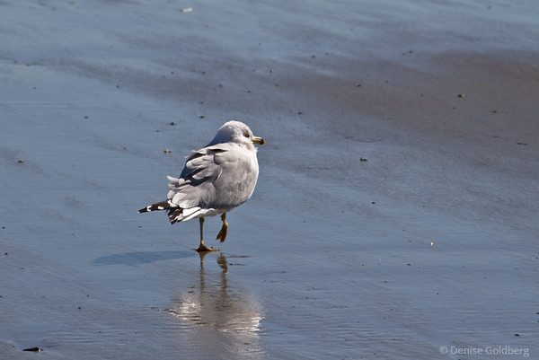 sea gull walking, New Hampshire coast