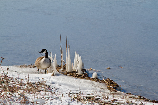 Canada goose posing