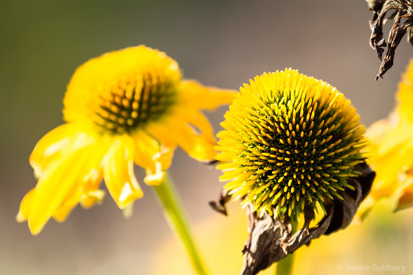 coneflowers at the end of the flowering season