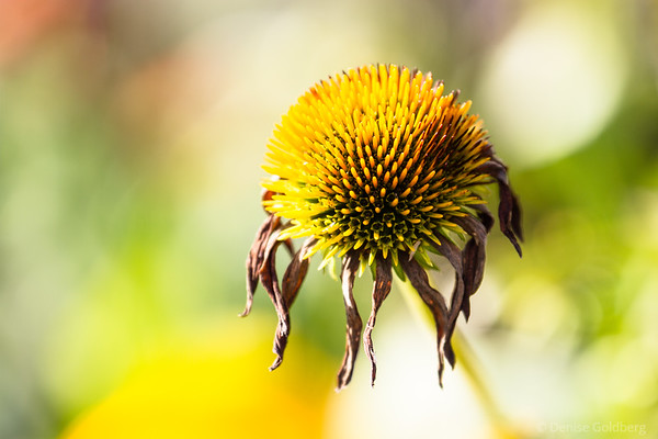 autumn remnants of a bright yellow coneflower