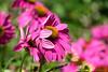 echinacea :: wind movement