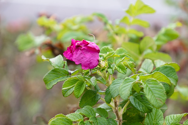 a wild rose, still in bloom in November