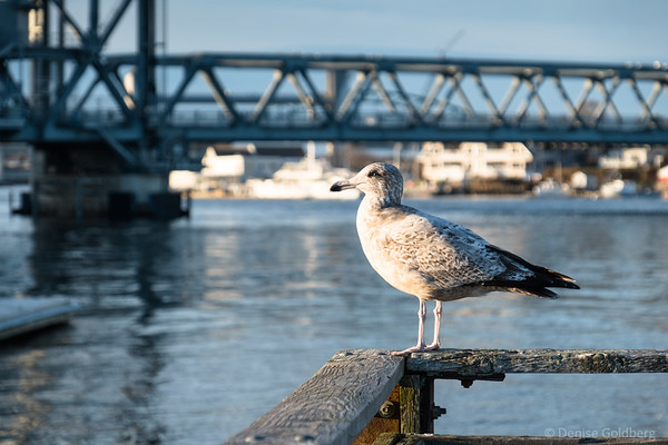 sea gull, Portsmouth, NH