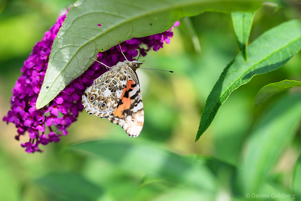 a butterfly on a butterfly bush