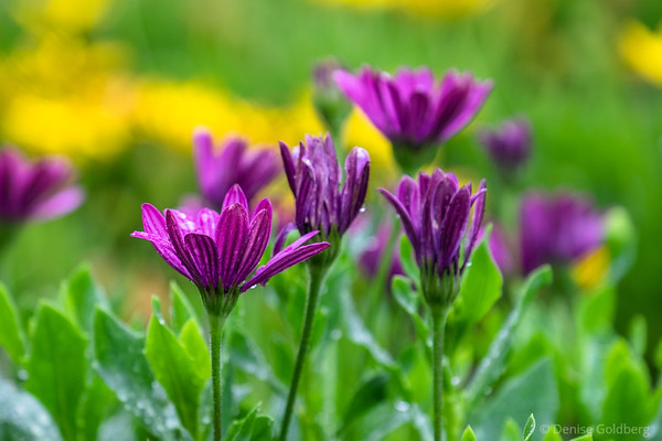 African daisies in purple