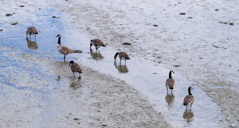 a gaggle of Canada Goose, walking at low tide