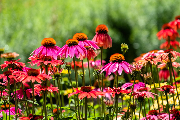 a field of coneflowers