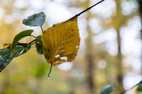 a wet leaf in autumn colors clinging to a branch