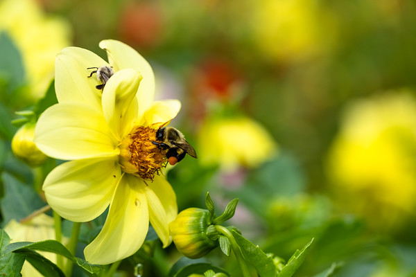 bee feeding on a dahlia