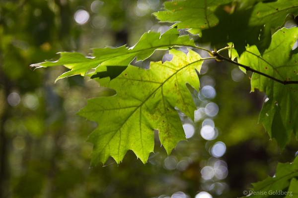 sun shining through still green leaves