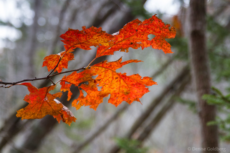 oak leaves in red