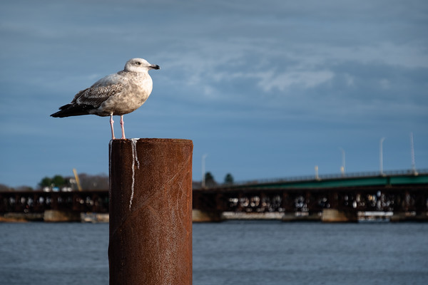 sea gull on a post, Newburyport, MA