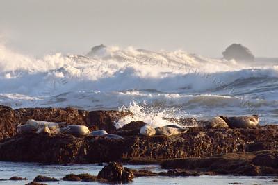 Resting harbor seals