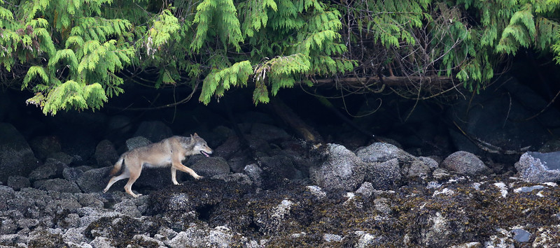 He wandered in and out of the trees near the shoreline