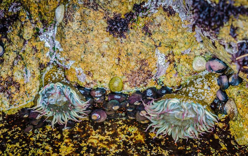 Monterey Tide Pool: Sea Anemones