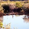 Blue Heron on Ozello Trail