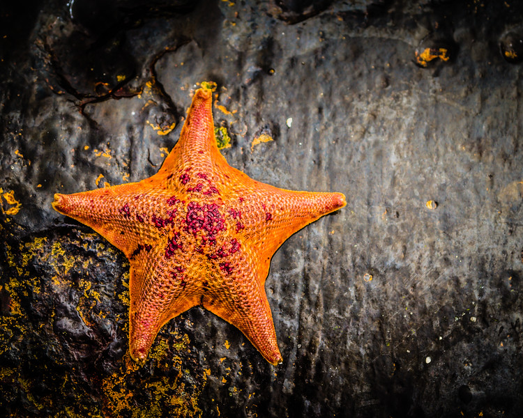 Tide Pools of Monterey: Little Starfish