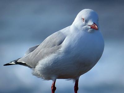 Silver Gull w