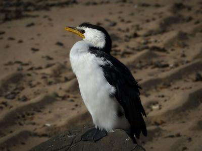 Cormorant w