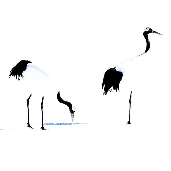 Japansk trana (Grus japonensis) Red-crowned crane in Winterlandscape