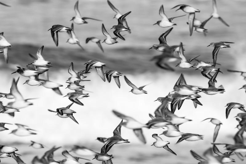 Coastal Birds In-Flight, California