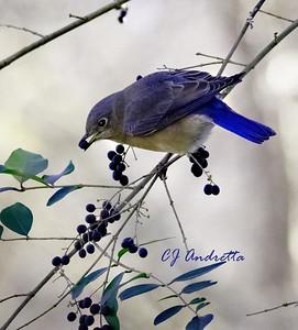 Eastern Bluebird - CJ Andretta