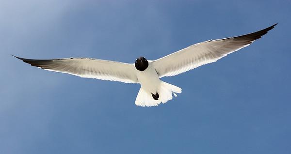 Mark Chandler - seagull