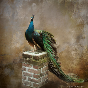Hale_Sally_Peacock on Pedastal