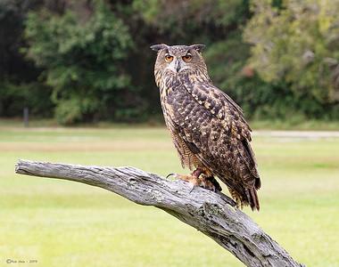 HaleRob_Eurasin Eagle Owl_3