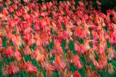 Orange Tulips by Charlie Stannard