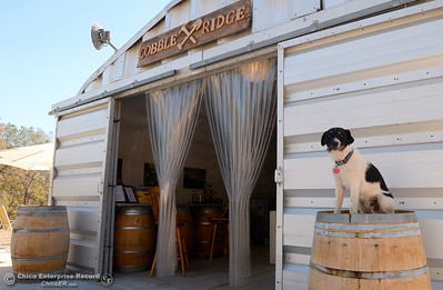Distillery dog, Rebel sits on a barrel outside of the distillery seen during a tour of the Cobble Ridge Distillery in Bangor, Calif. Thurs. Sept. 29, 2016. (Bill Husa -- Enterprise-Record)