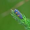 Coccinella 7punctata (Larva)