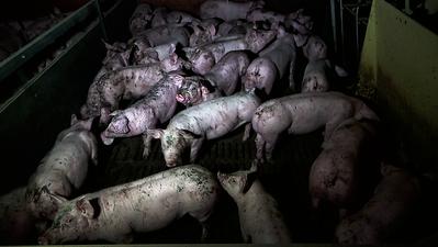 cochons-enclos-engraissement-salete-dejection