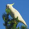 Sulphur Crested Cockatoo (Cacatua galerita)