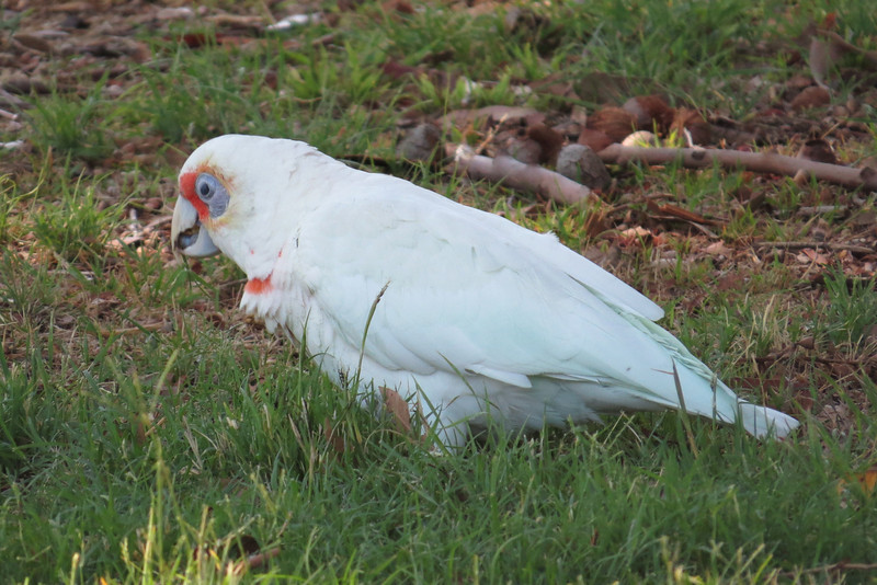 Long Billed Corella (Cacatua tenuirostris)