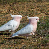 Major Mitchell's Cockatoo (Lophochroa leadbeateri)