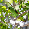 Red-winged Parrot (Aprosmictus erythropterus_