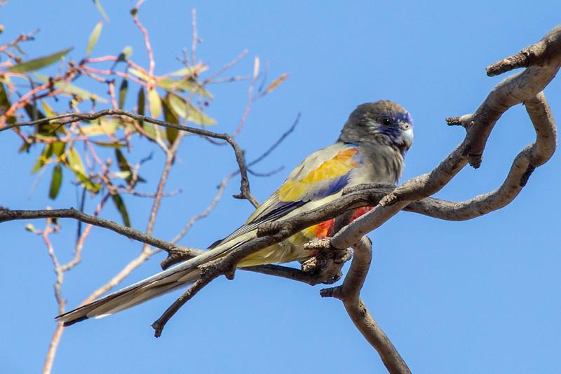 Blue Bonnet (Northiella haematogaster)