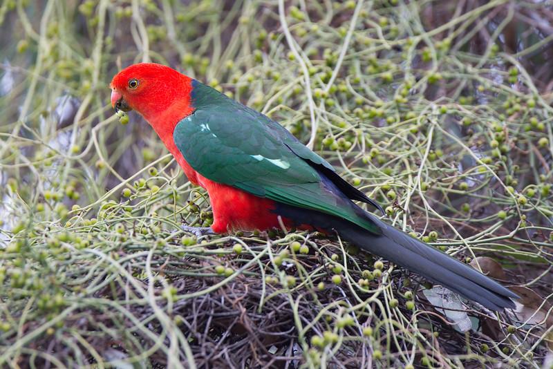 Australian King Parrot (Alisterus scapularis)