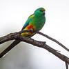 Mulga Parrot (Psephotus) varius