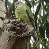 Red Rumped Parrot (Psephotus haematonotus)